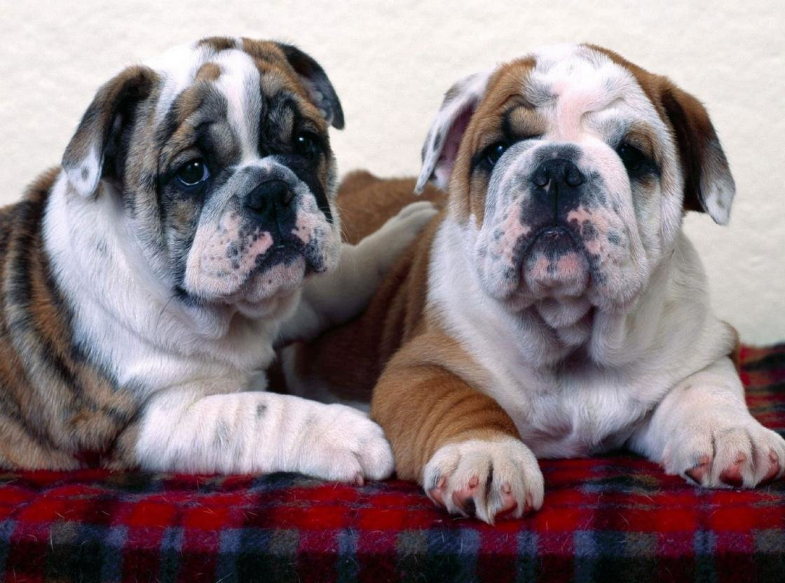 Best Bulldog wallpaper ID:282011 for High Resolution hd 1120x832 computer