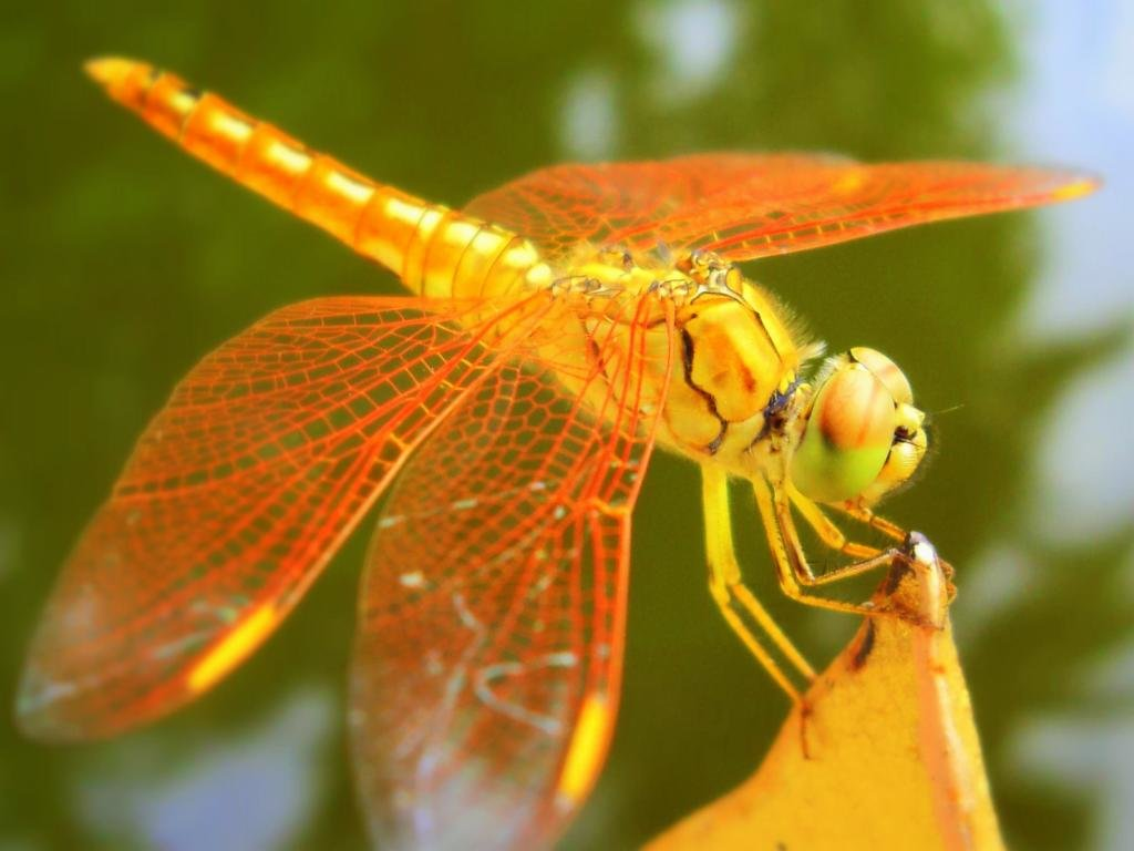 Free download Dragonfly wallpaper ID:467619 hd 1024x768 for computer
