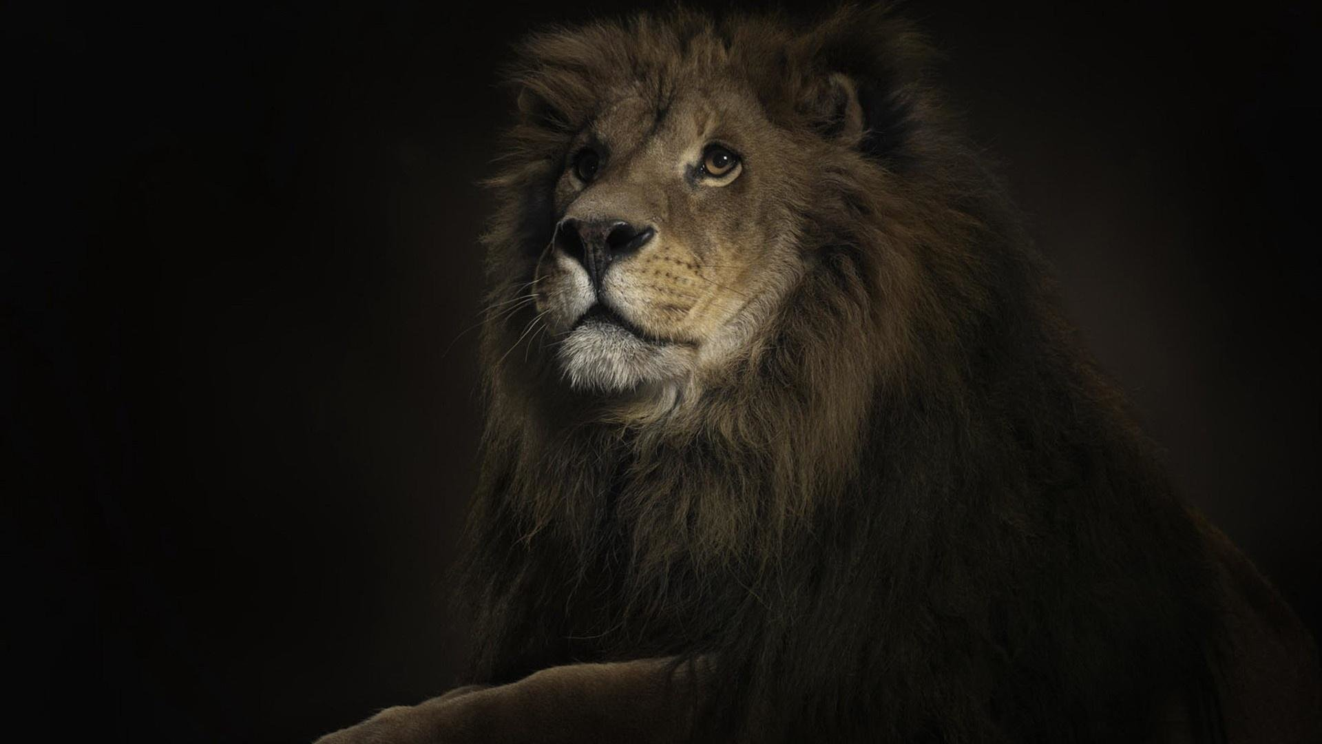 Free Lion high quality background ID:255160 for hd 1920x1080 PC