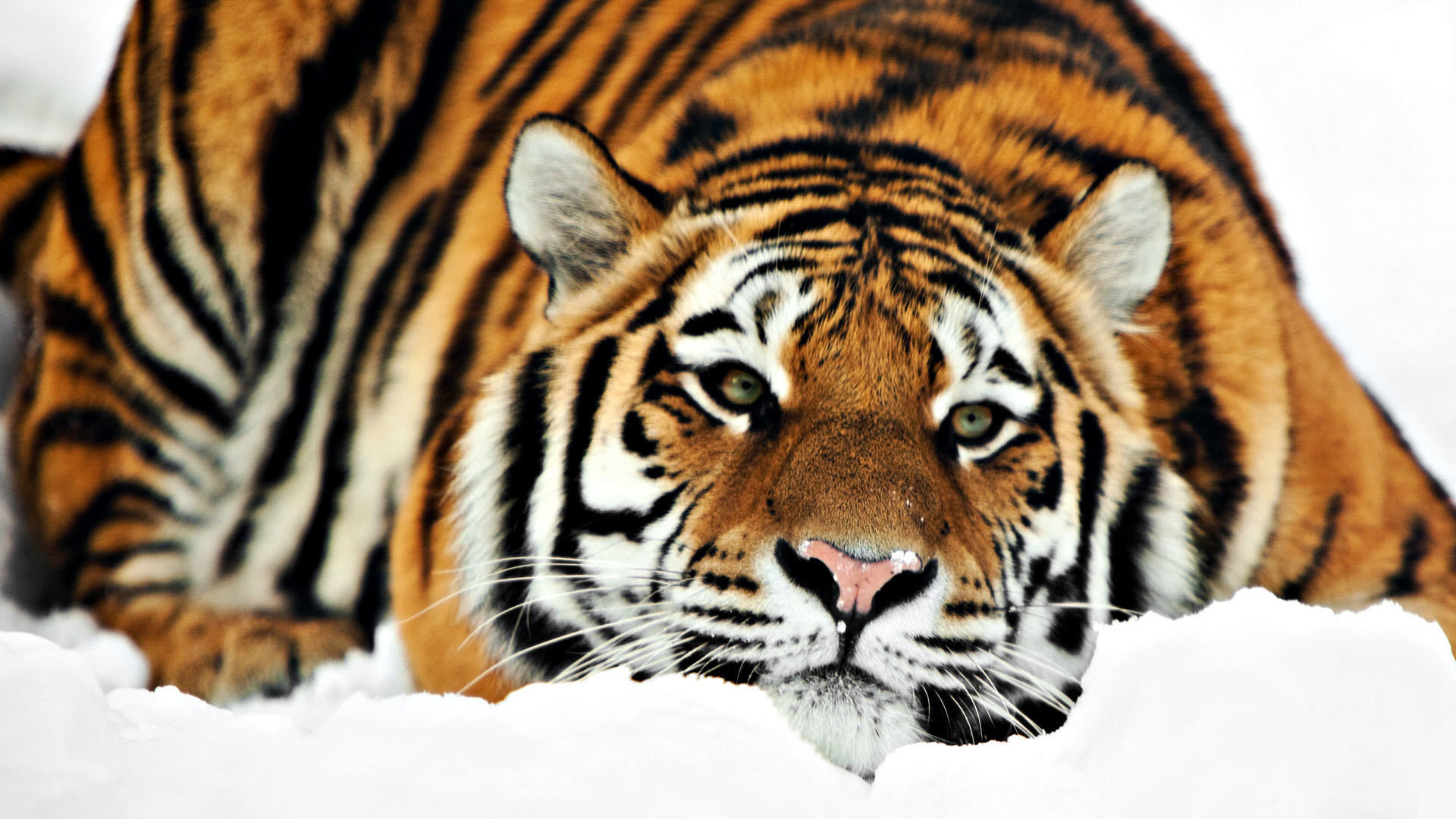 Download full hd Tiger computer wallpaper ID:115764 for free