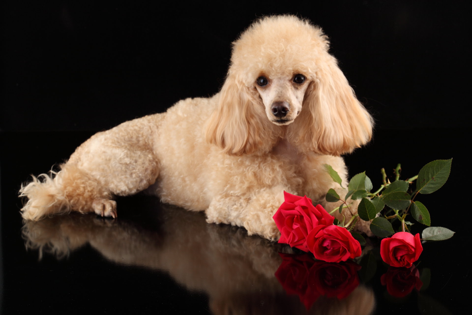 Best Poodle background ID:145049 for High Resolution hd 1920x1280 computer