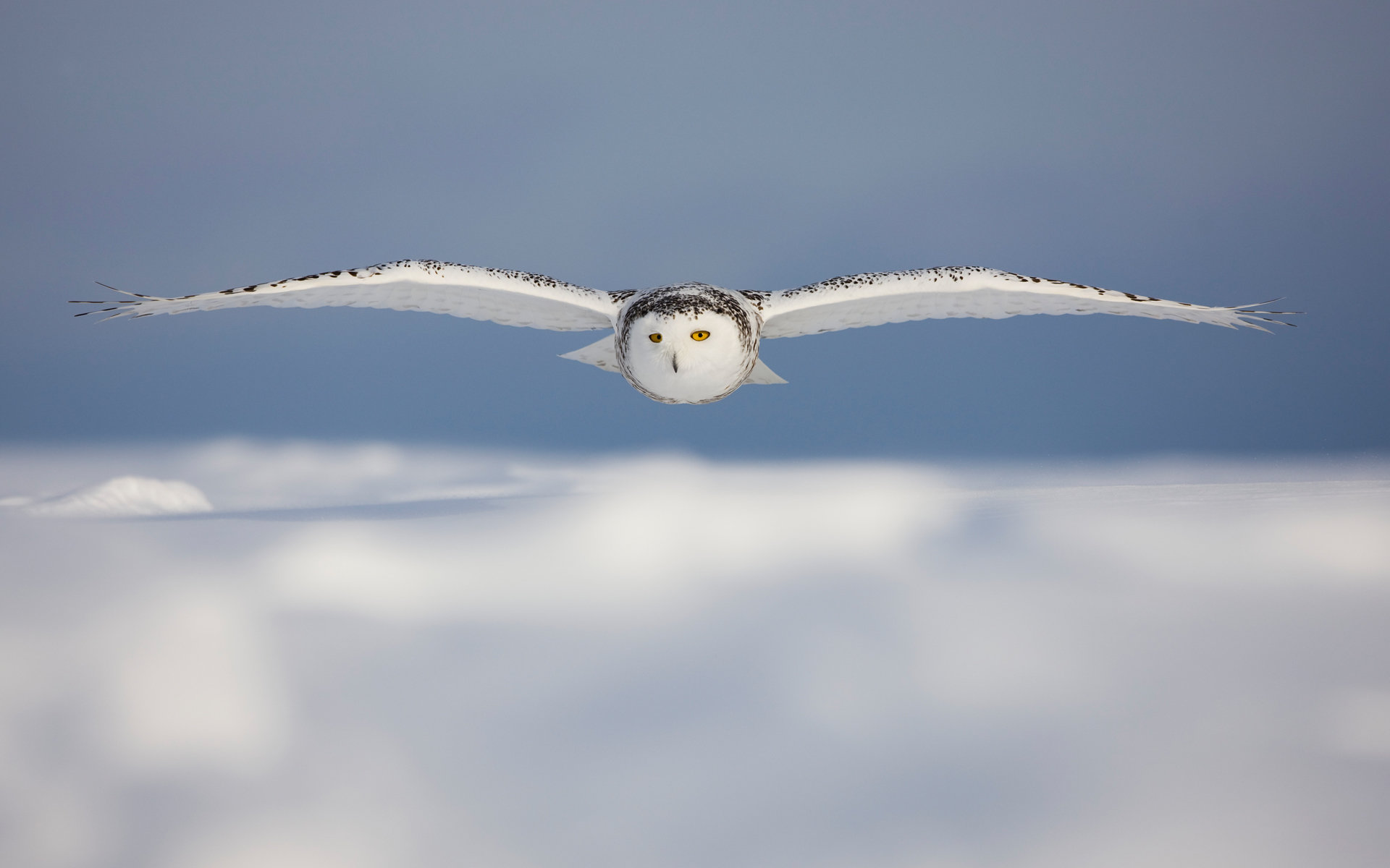 High resolution Snowy Owl hd 1920x1200 background ID:26763 for computer