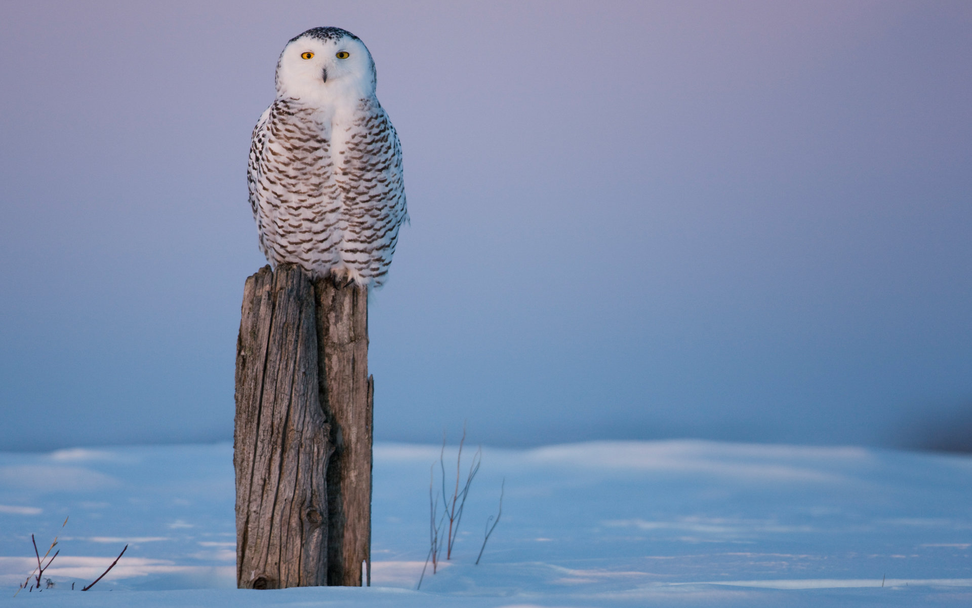 Free Snowy Owl high quality wallpaper ID:26797 for hd 1920x1200 PC