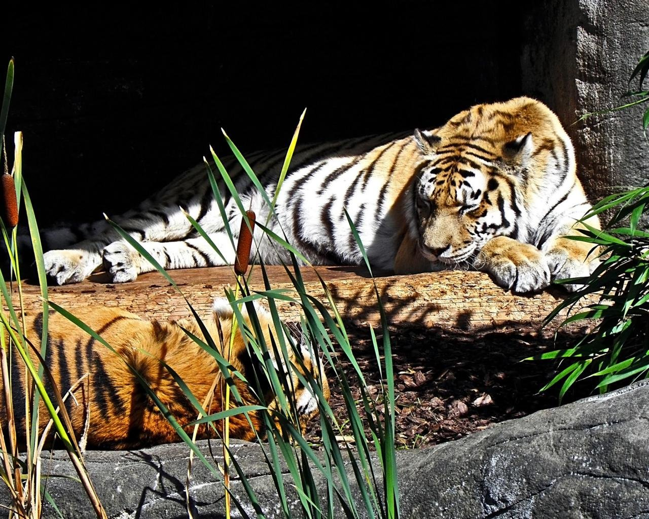 Awesome Tiger free wallpaper ID:116182 for hd 1280x1024 PC