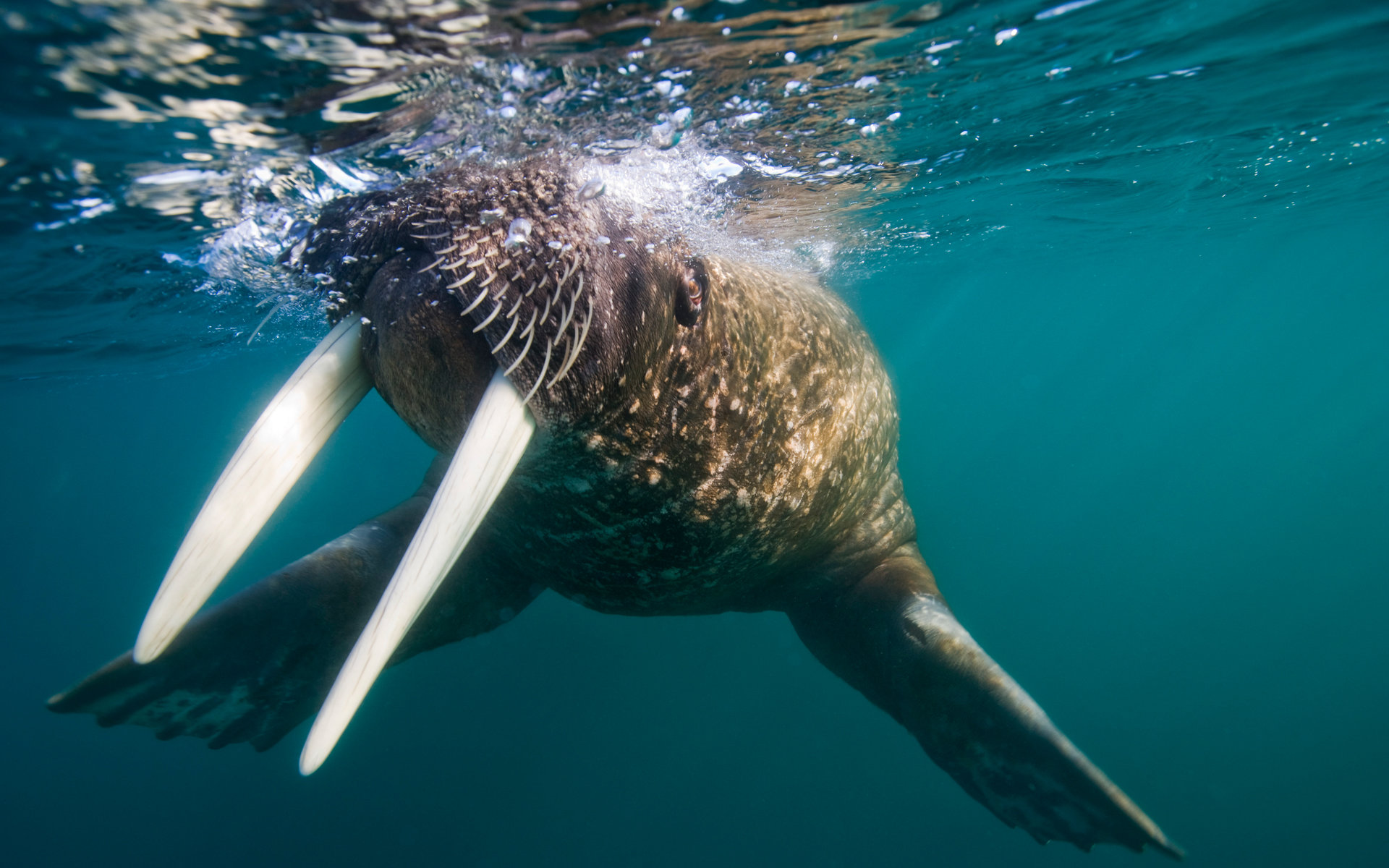 Awesome Walrus free wallpaper ID:394829 for hd 1920x1200 PC