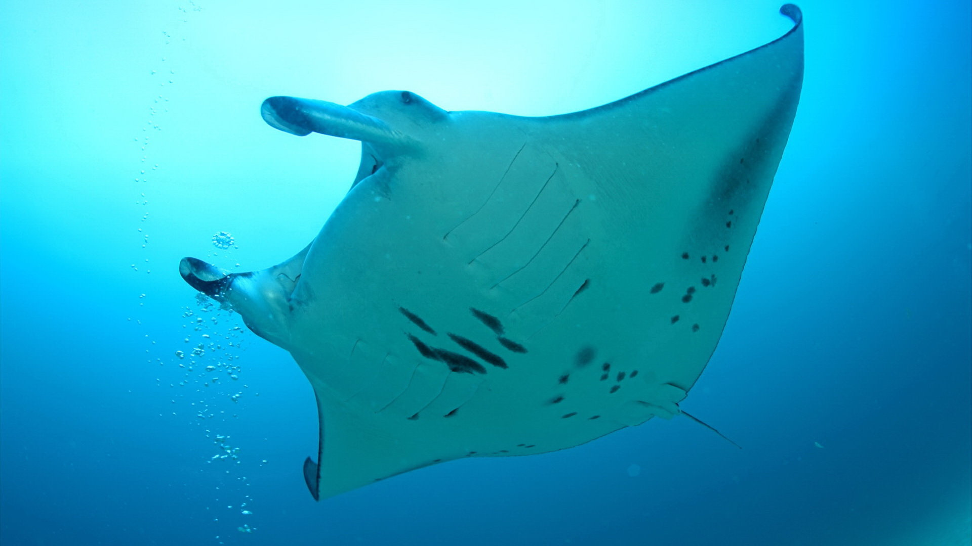 Awesome Manta Ray free wallpaper ID:346048 for full hd 1920x1080 computer