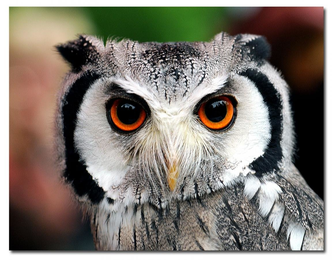 Awesome Owl free background ID:237311 for hd 1152x900 PC