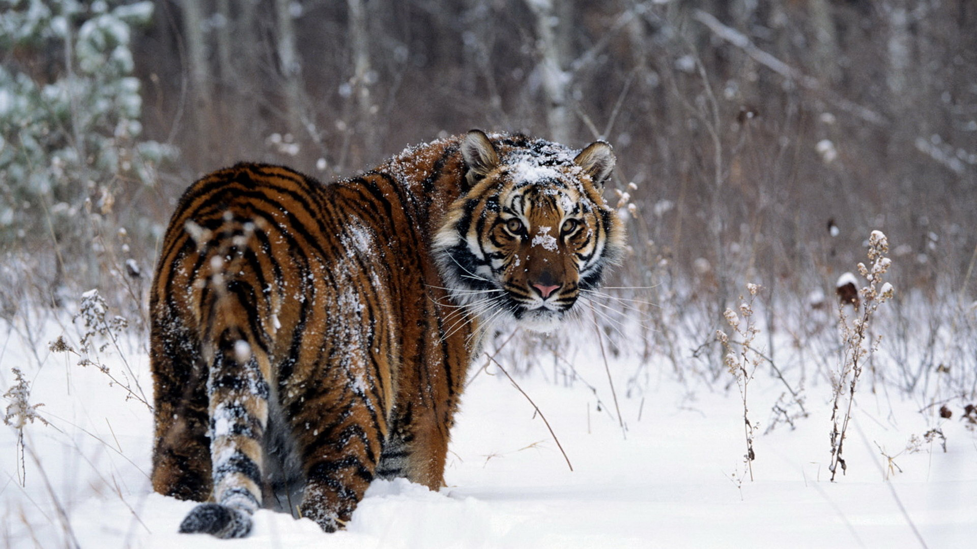 Awesome Tiger free background ID:115590 for hd 1920x1080 PC