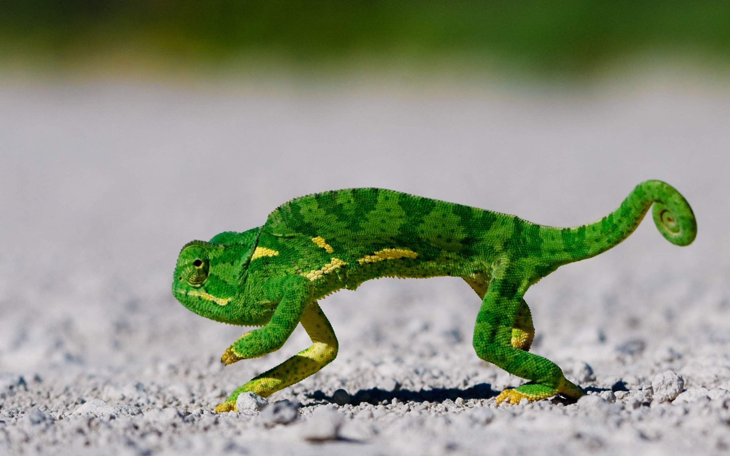 Best Chameleon background ID:462497 for High Resolution hd 2560x1600 desktop