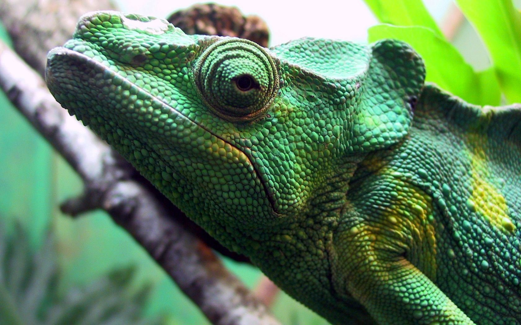 Download hd 1680x1050 Chameleon computer background ID:462498 for free