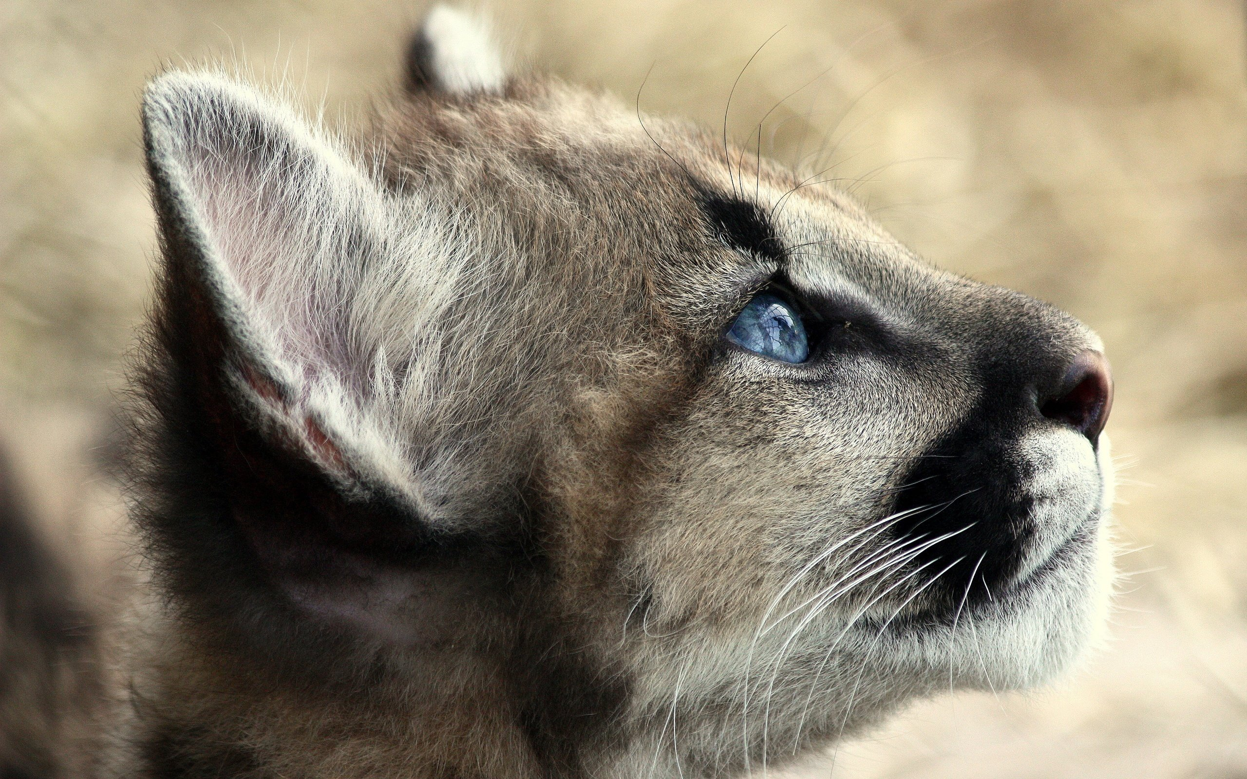 High resolution Cougar hd 2560x1600 background ID:81771 for desktop