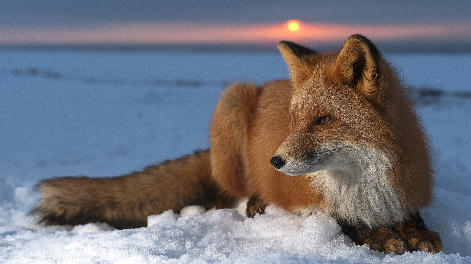 Free download Fox background ID:58522 1080p for computer