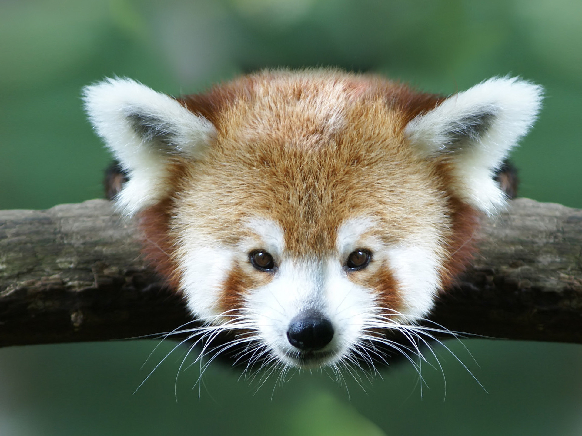 Download hd 1920x1440 Red Panda PC wallpaper ID:64096 for free