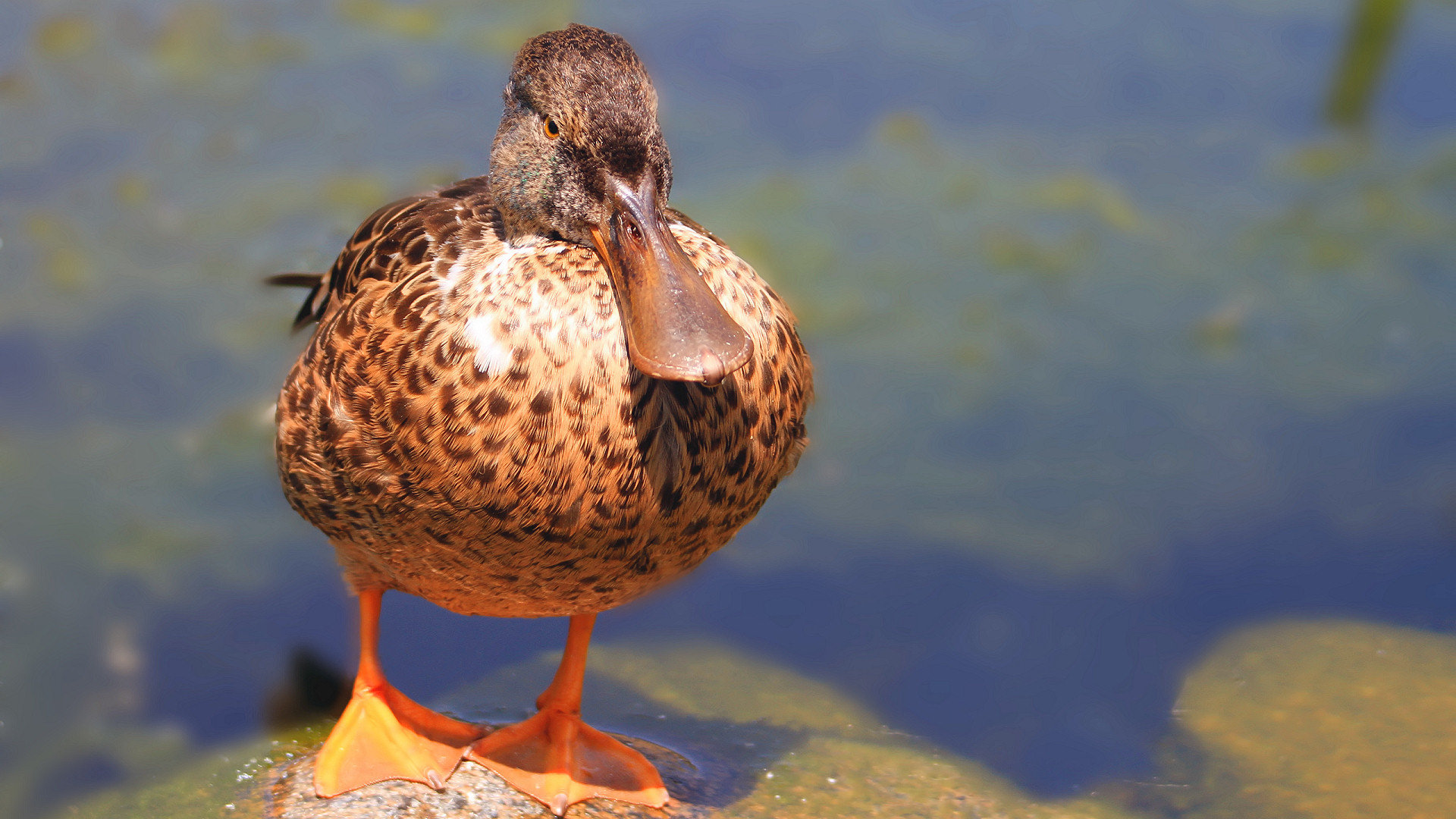 Best Duck wallpaper ID:290399 for High Resolution full hd 1080p PC
