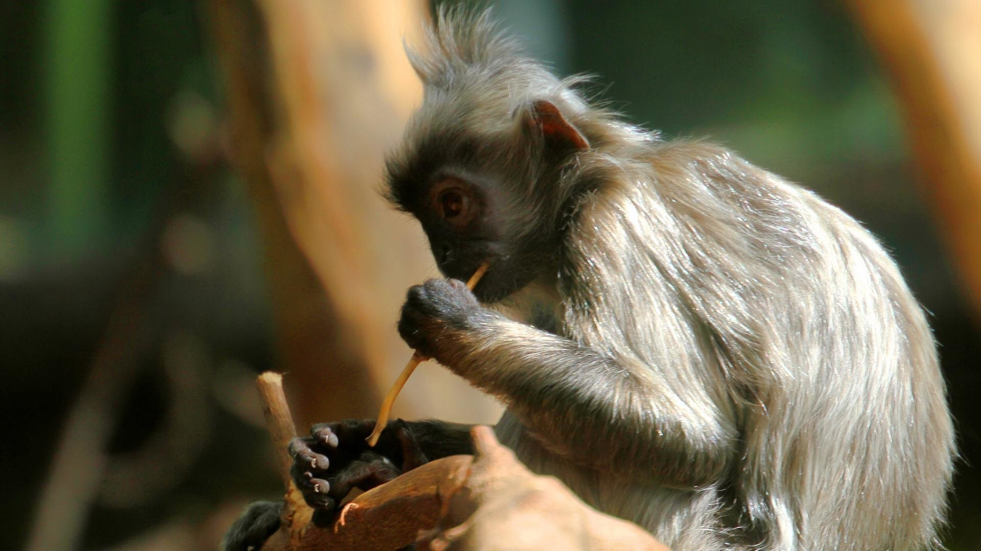 High resolution Monkey hd 1080p wallpaper ID:128061 for PC