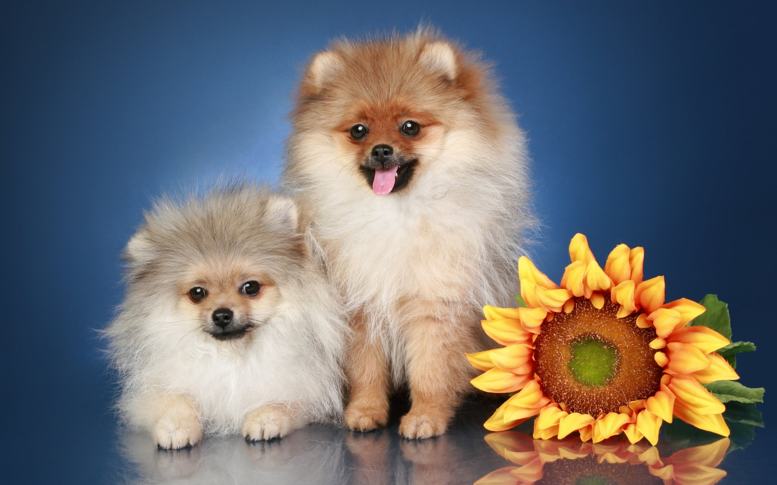Best Pomeranian background ID:184960 for High Resolution hd 2560x1600 PC