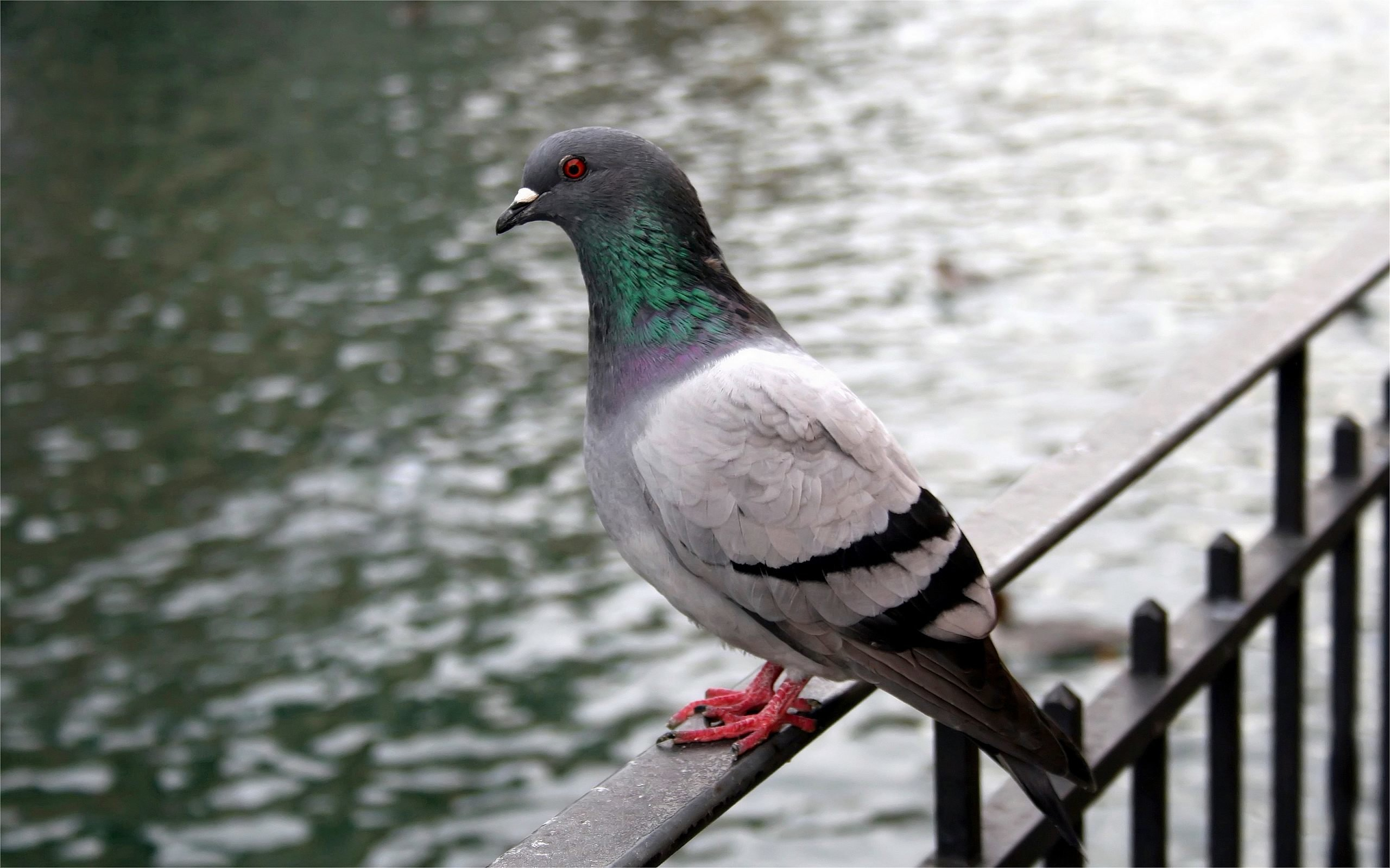 Download hd 2560x1600 Pigeon computer wallpaper ID:212318 for free