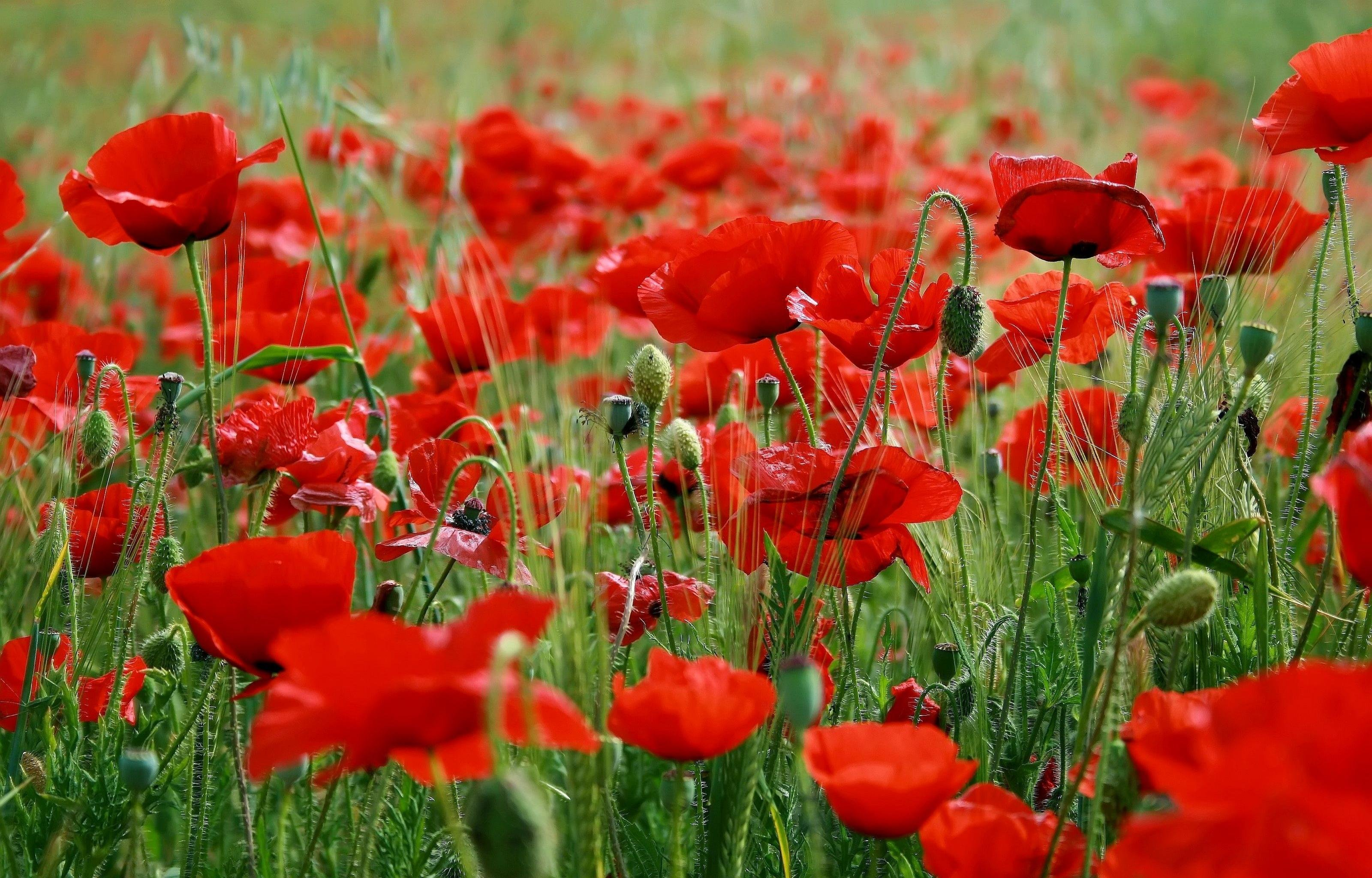 Awesome Poppy free wallpaper ID:99617 for hd 3200x2048 computer