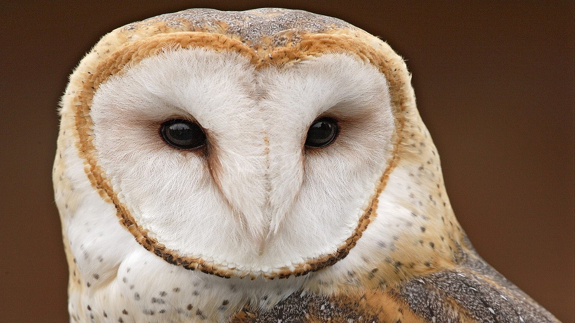 High resolution Barn Owl full hd 1920x1080 wallpaper ID:81577 for computer