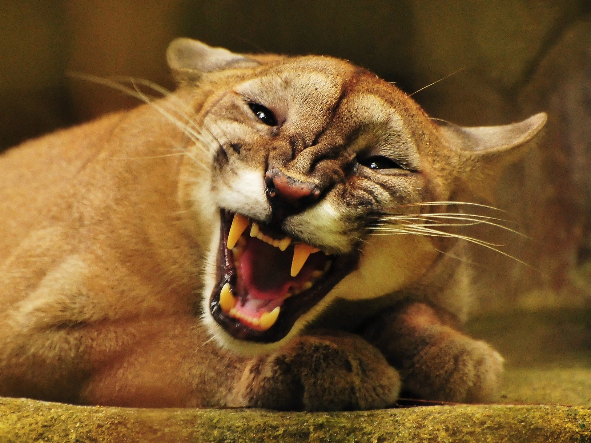 High resolution Cougar hd 1920x1440 wallpaper ID:81770 for desktop