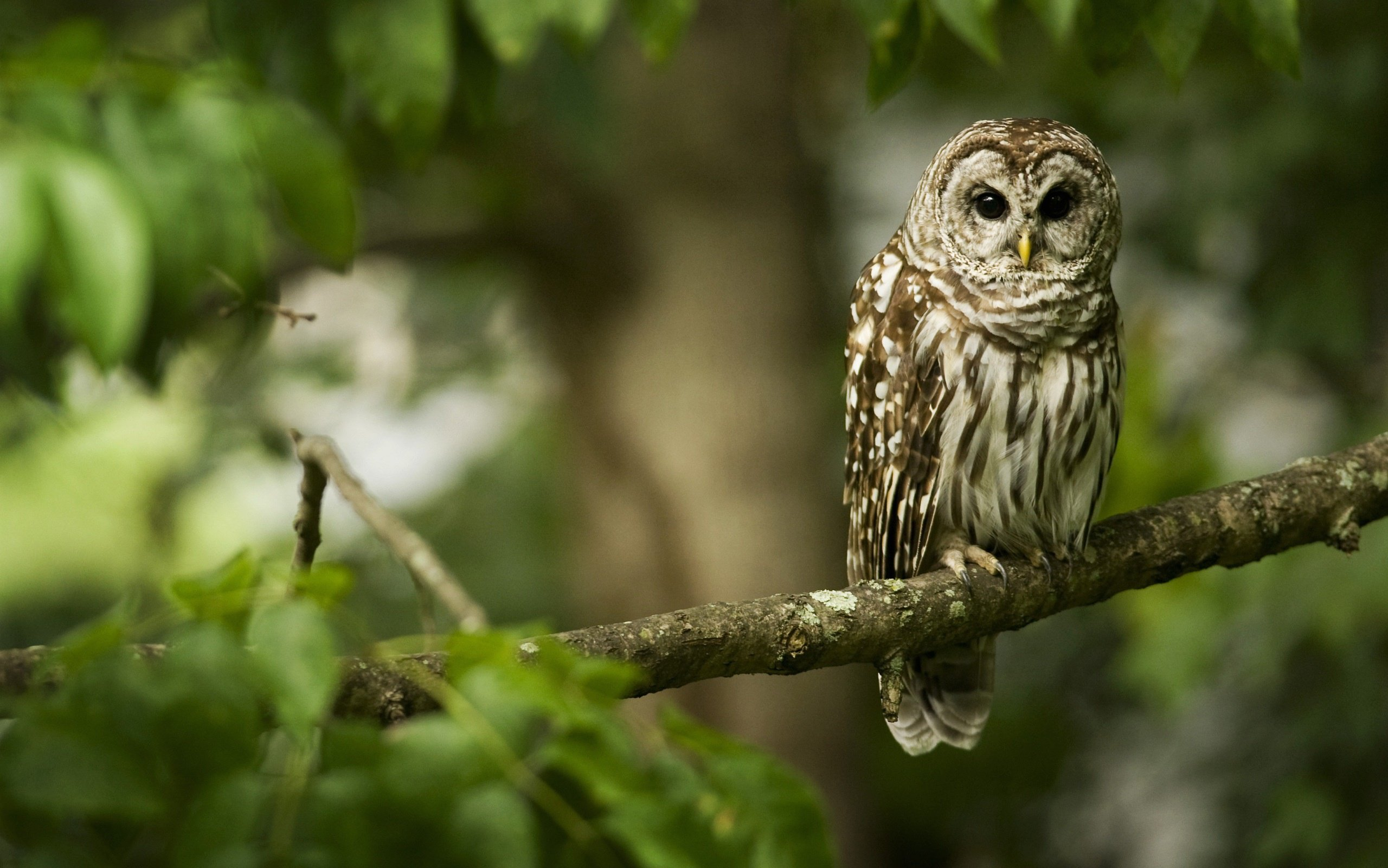 Best Barred Owl background ID:91355 for High Resolution hd 2560x1600 computer