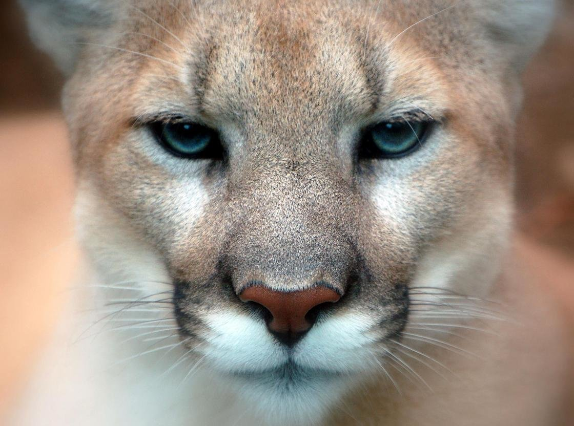 High resolution Cougar hd 1120x832 background ID:81805 for PC