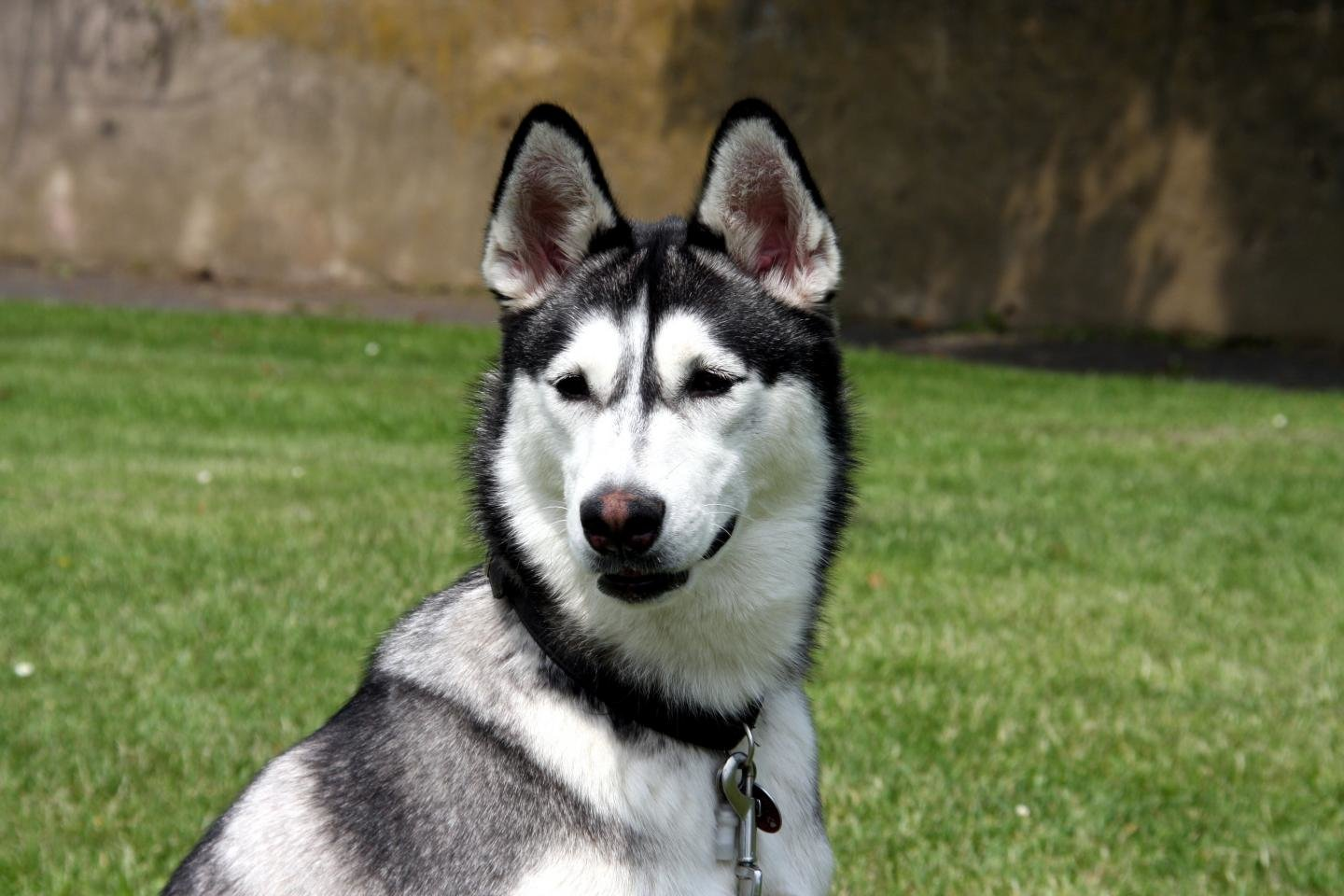 Awesome Husky free wallpaper ID:198400 for hd 1440x960 PC