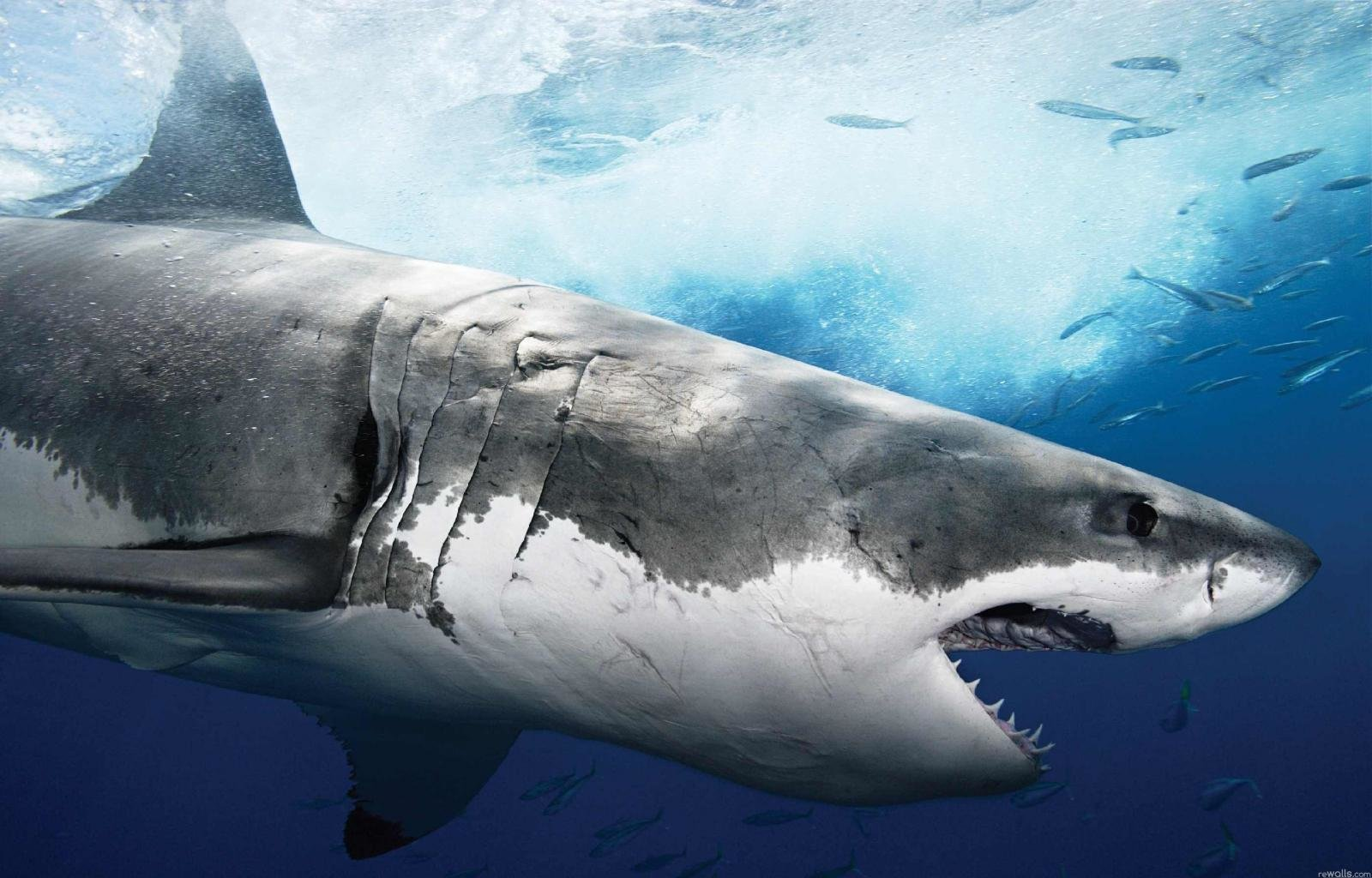 Best Shark wallpaper ID:180513 for High Resolution hd 1600x1024 computer