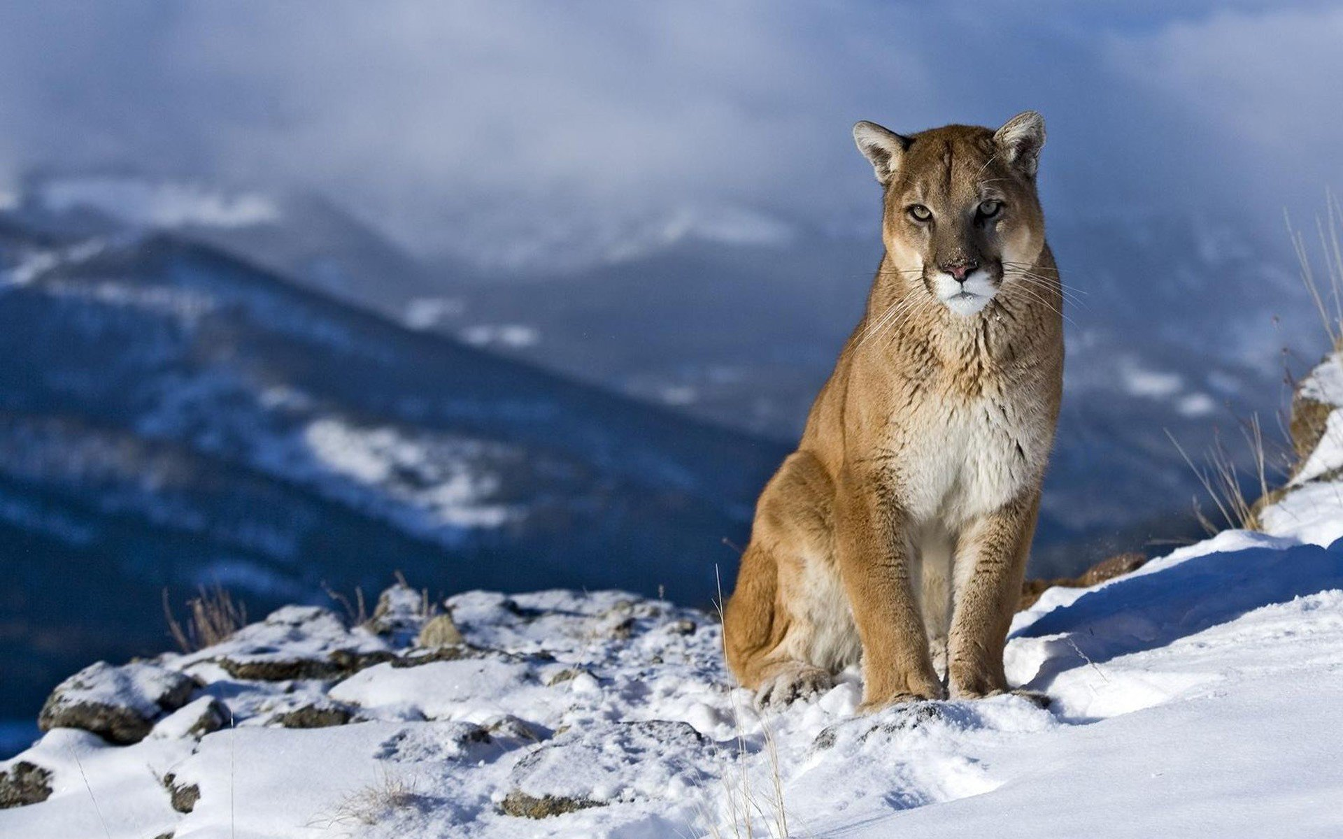 Download hd 1920x1200 Cougar PC background ID:81728 for free