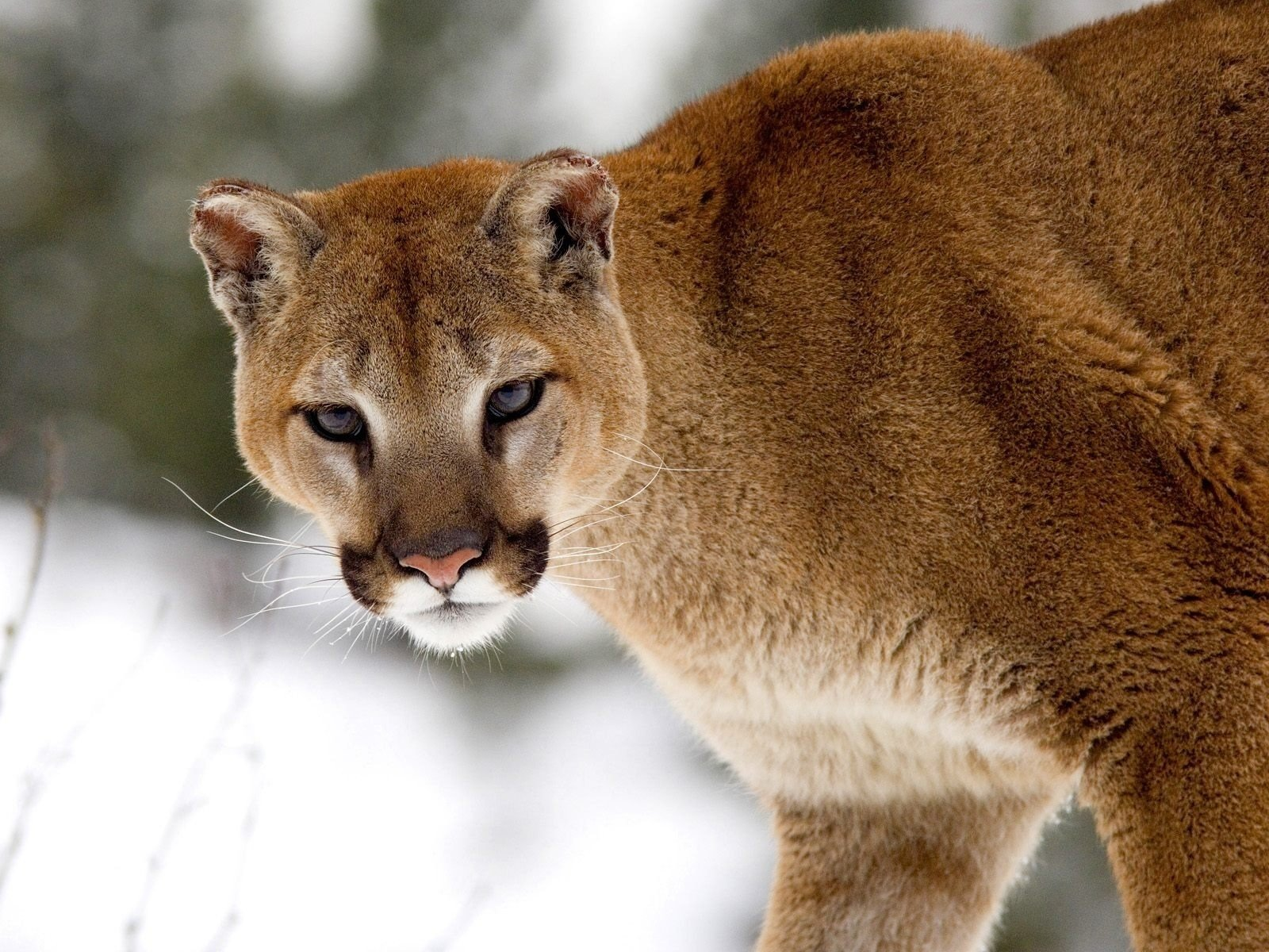 Awesome Cougar free wallpaper ID:81804 for hd 1600x1200 computer