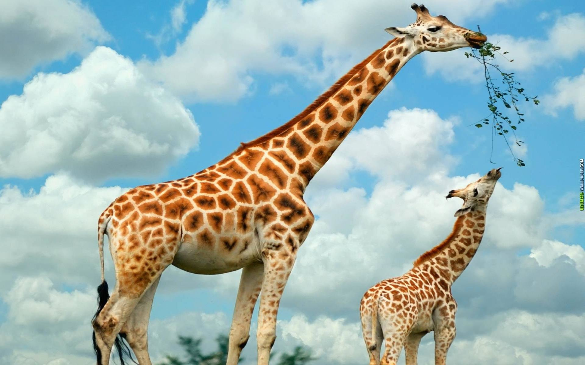 High resolution Giraffe hd 1920x1200 background ID:332450 for PC
