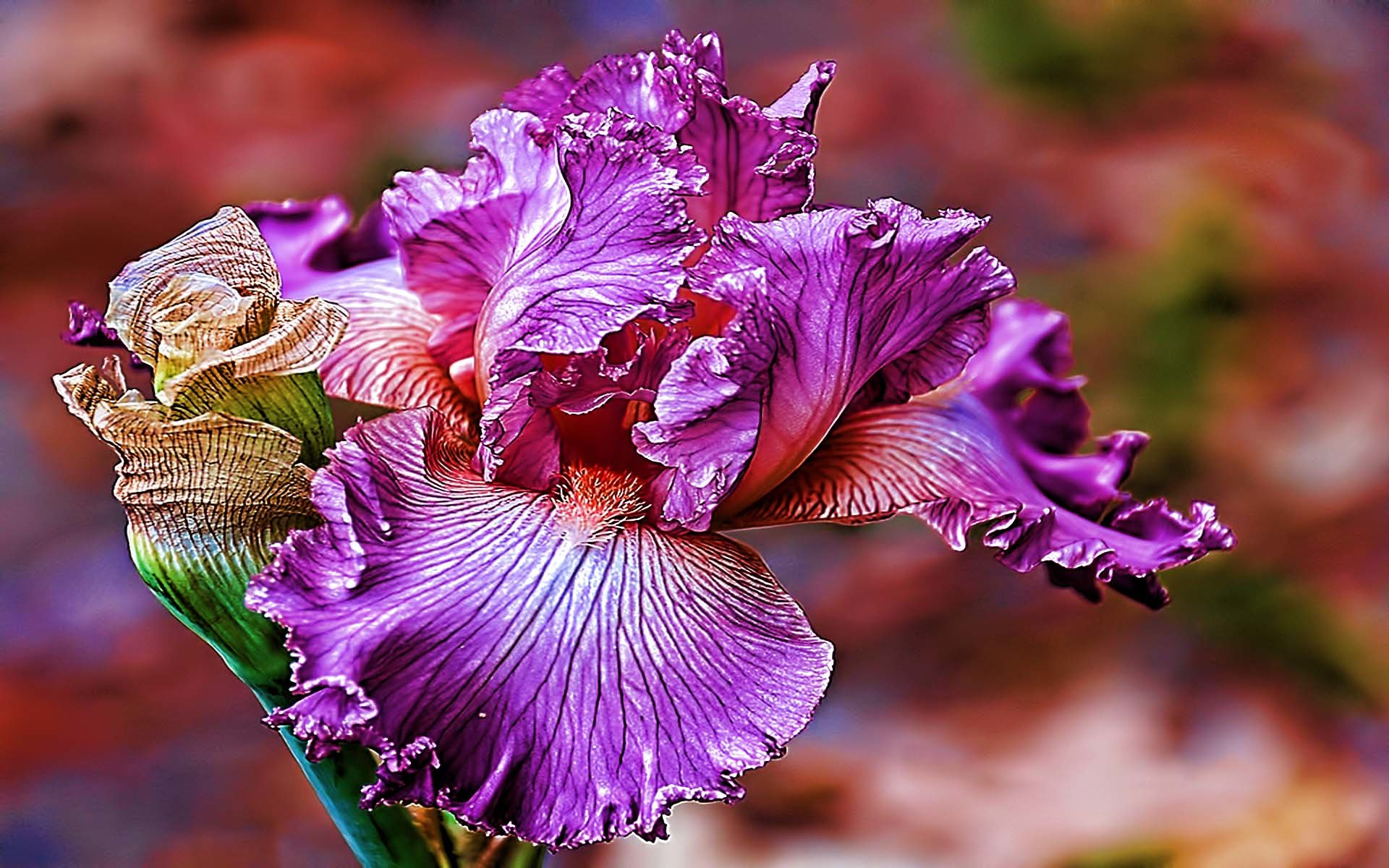 Free download Iris background ID:53078 hd 1920x1200 for computer