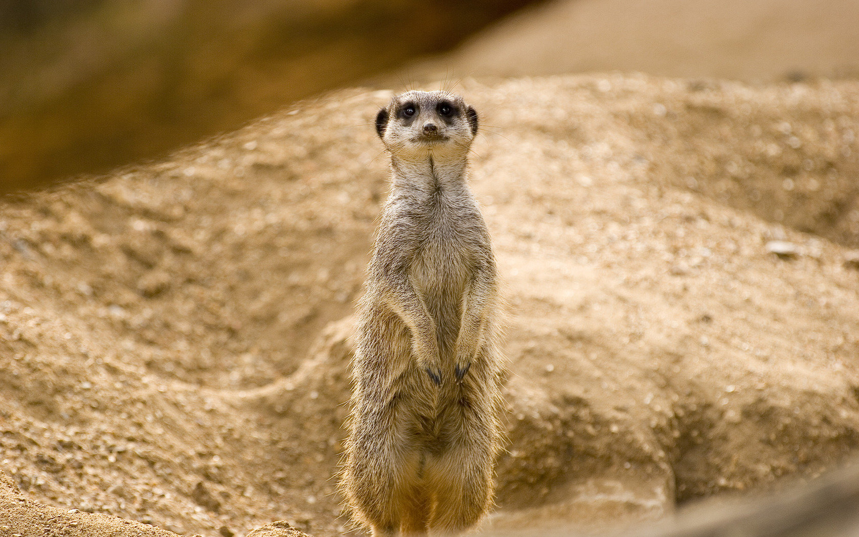 Free Meerkat high quality background ID:164620 for hd 1680x1050 desktop