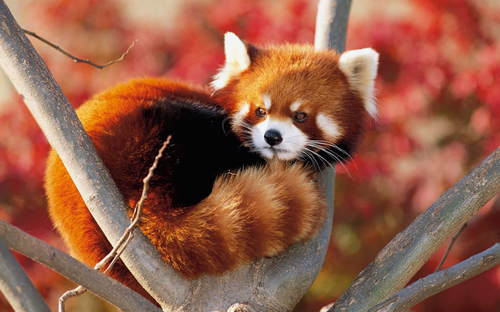 Best Red Panda background ID:64004 for High Resolution hd 1920x1200 PC