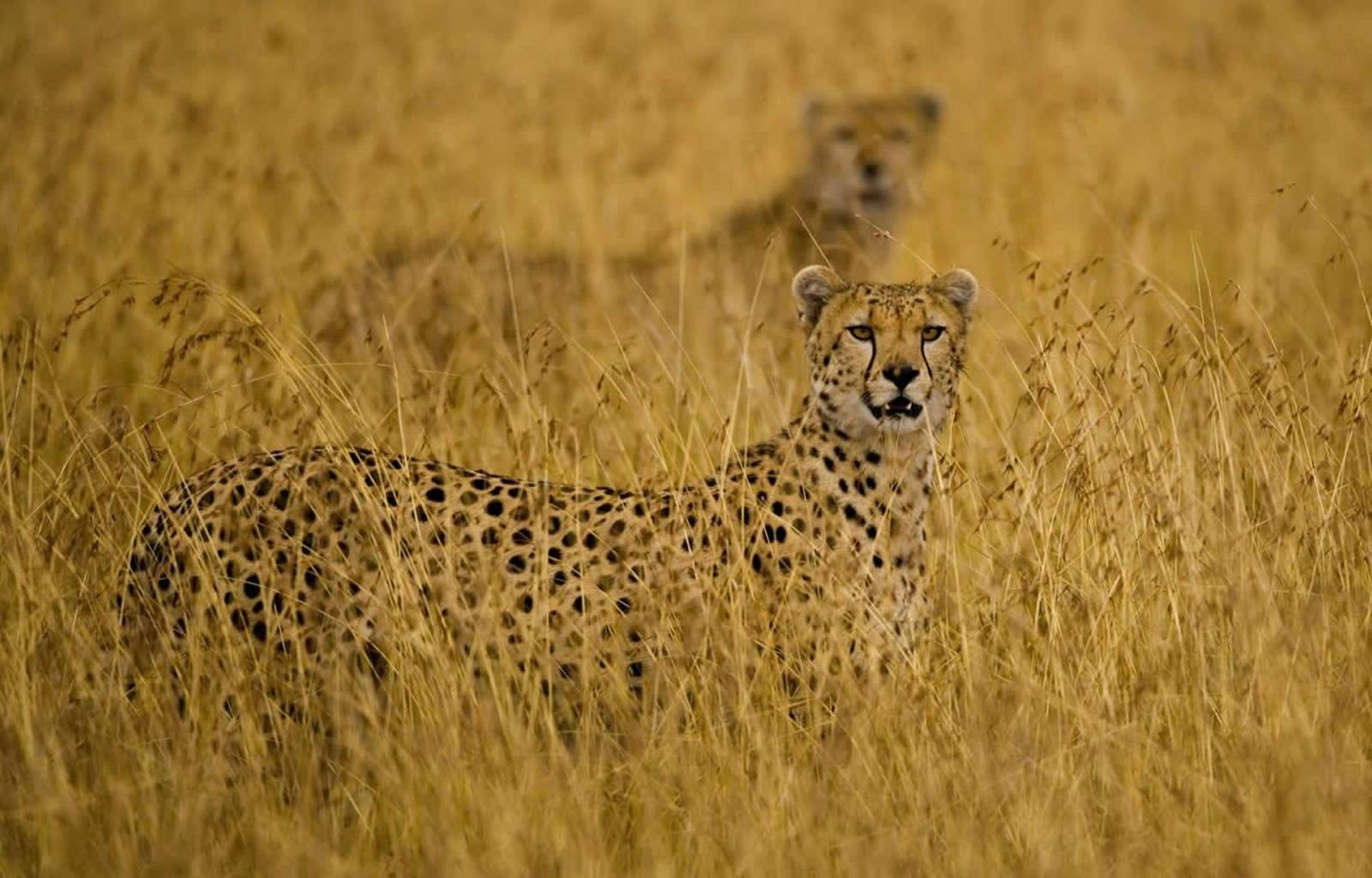 High resolution Cheetah hd 1600x1024 background ID:161883 for PC