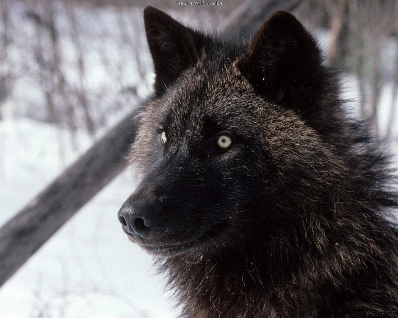 Best Wolf background ID:118200 for High Resolution hd 1280x1024 PC