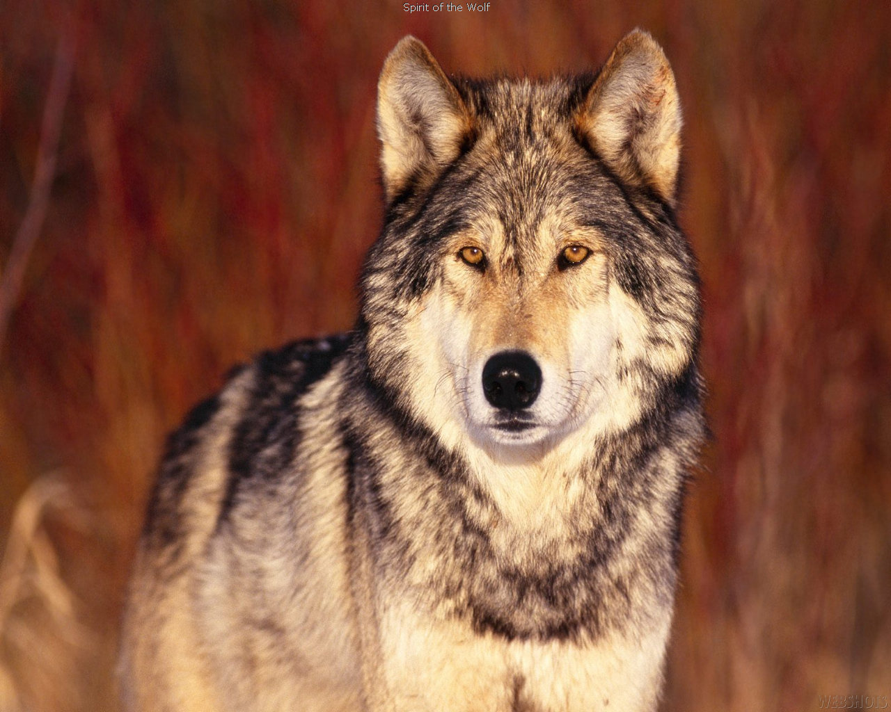 Free Wolf high quality background ID:118202 for hd 1280x1024 desktop