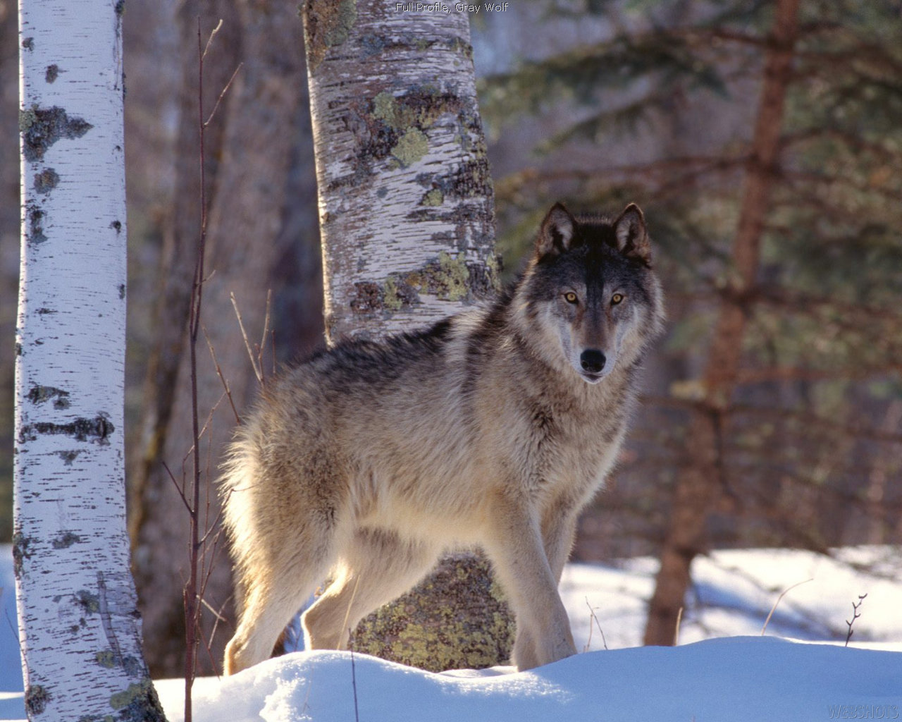 Best Wolf wallpaper ID:118062 for High Resolution hd 1280x1024 computer