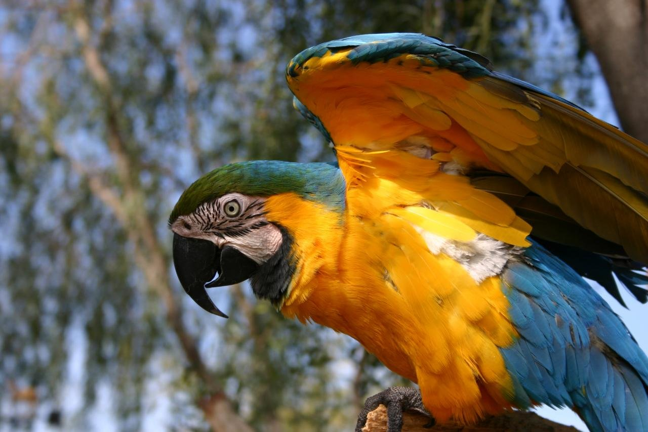 High resolution Macaw hd 1280x854 wallpaper ID:46504 for PC