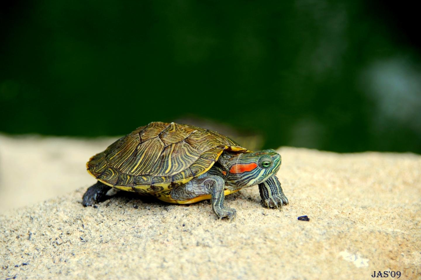 Free Turtle high quality background ID:29873 for hd 1440x960 PC