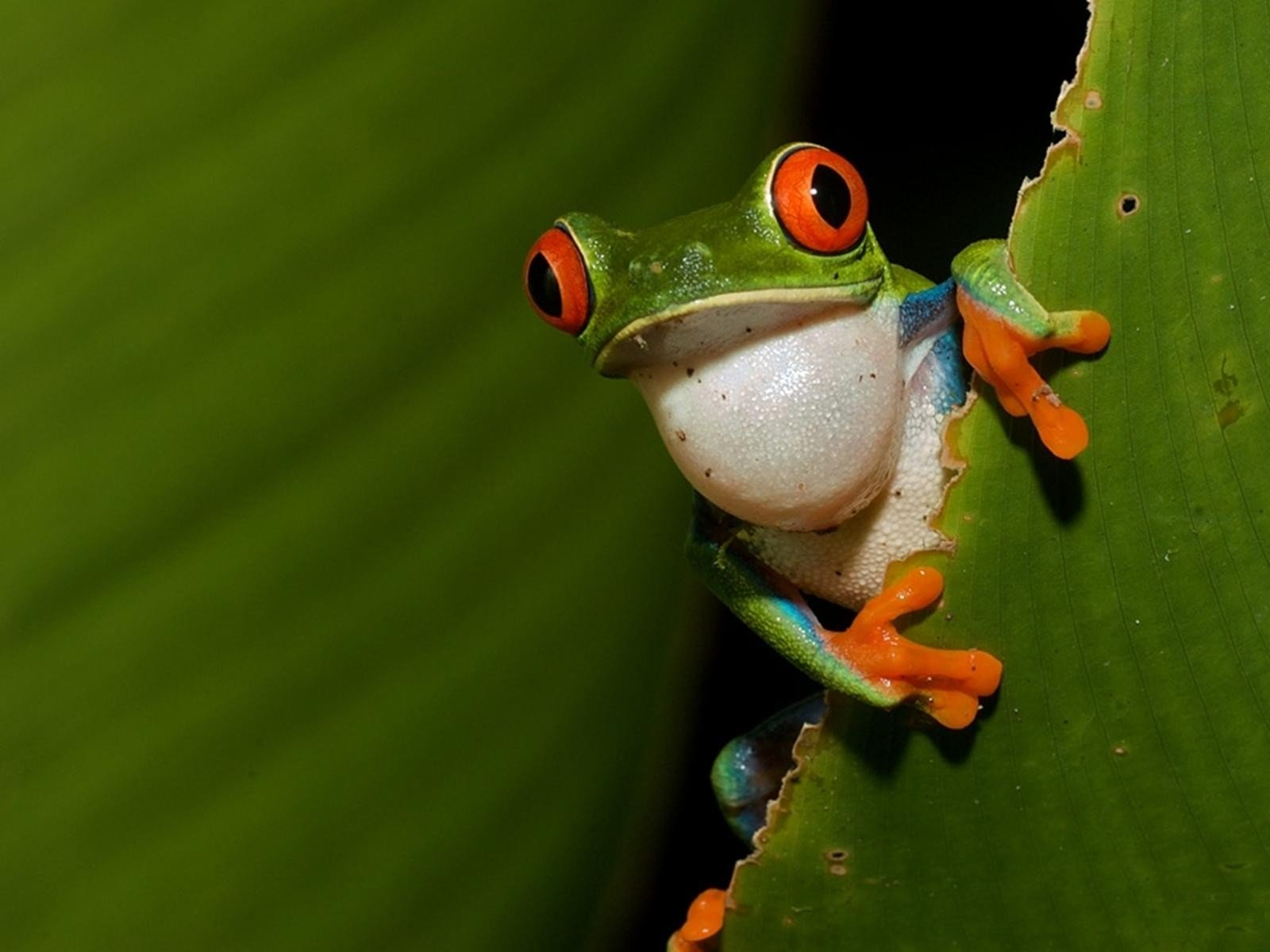 Free Red Eyed Tree Frog high quality background ID:20219 for hd 1600x1200 computer