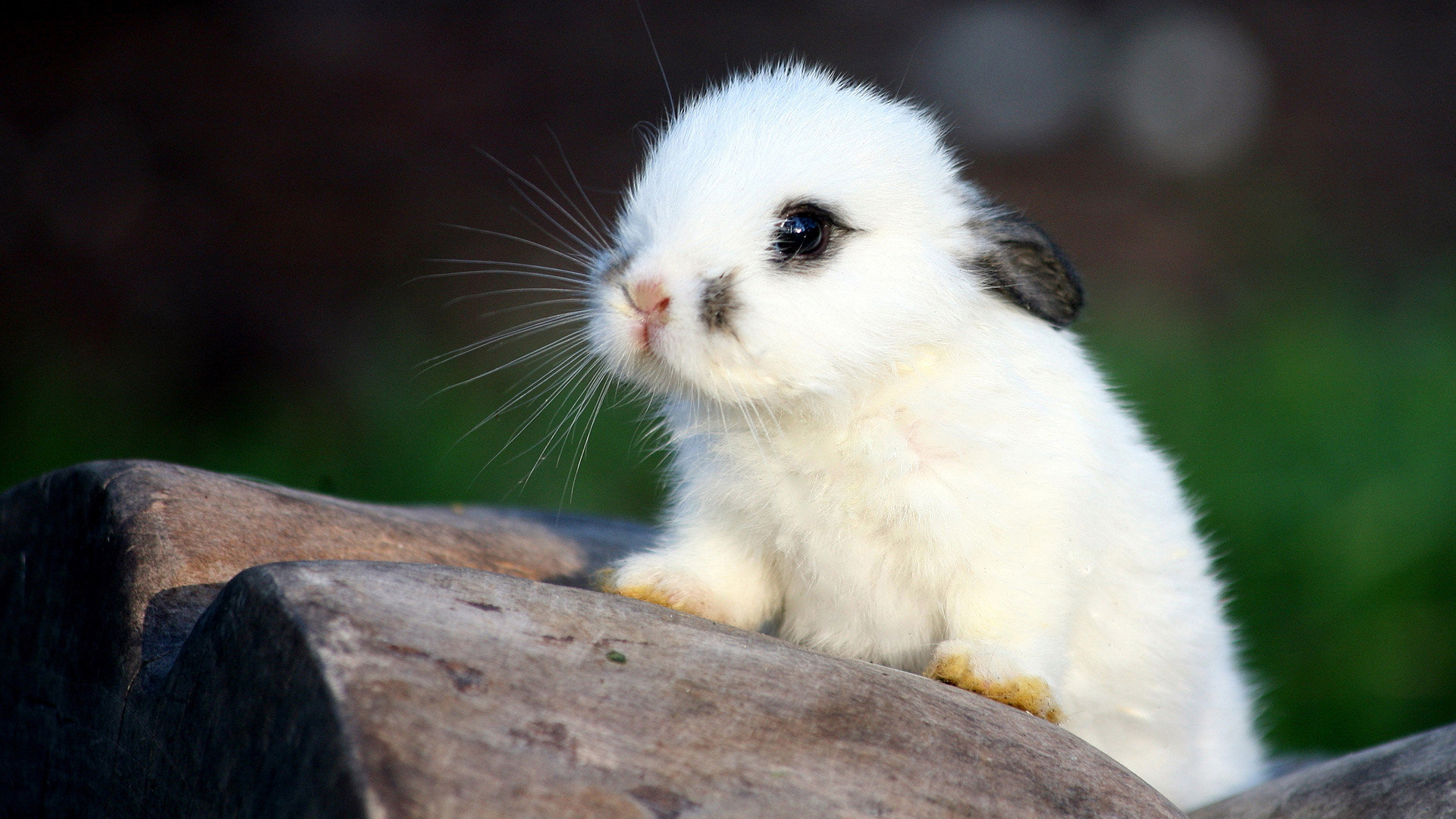 High Resolution Rabbit Bunny Hd 1080p Background ID248988 For Computer