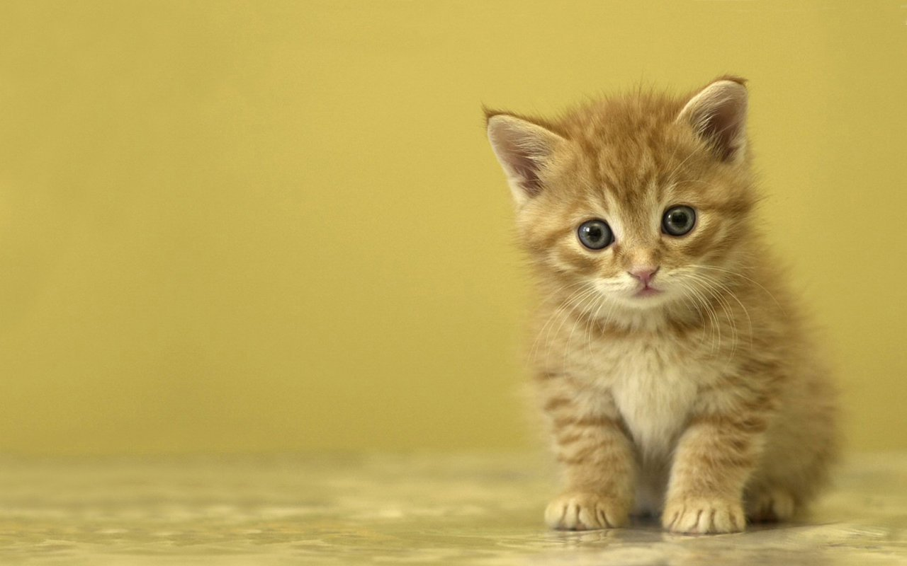 Download hd 1280x800 Kitten computer wallpaper ID:429826 for free
