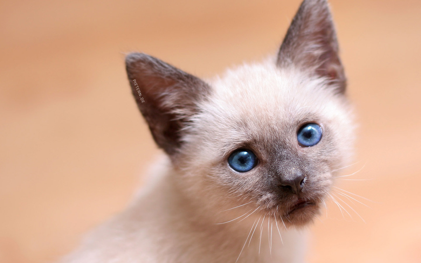 Best Kitten wallpaper ID:429540 for High Resolution hd 1440x900 PC