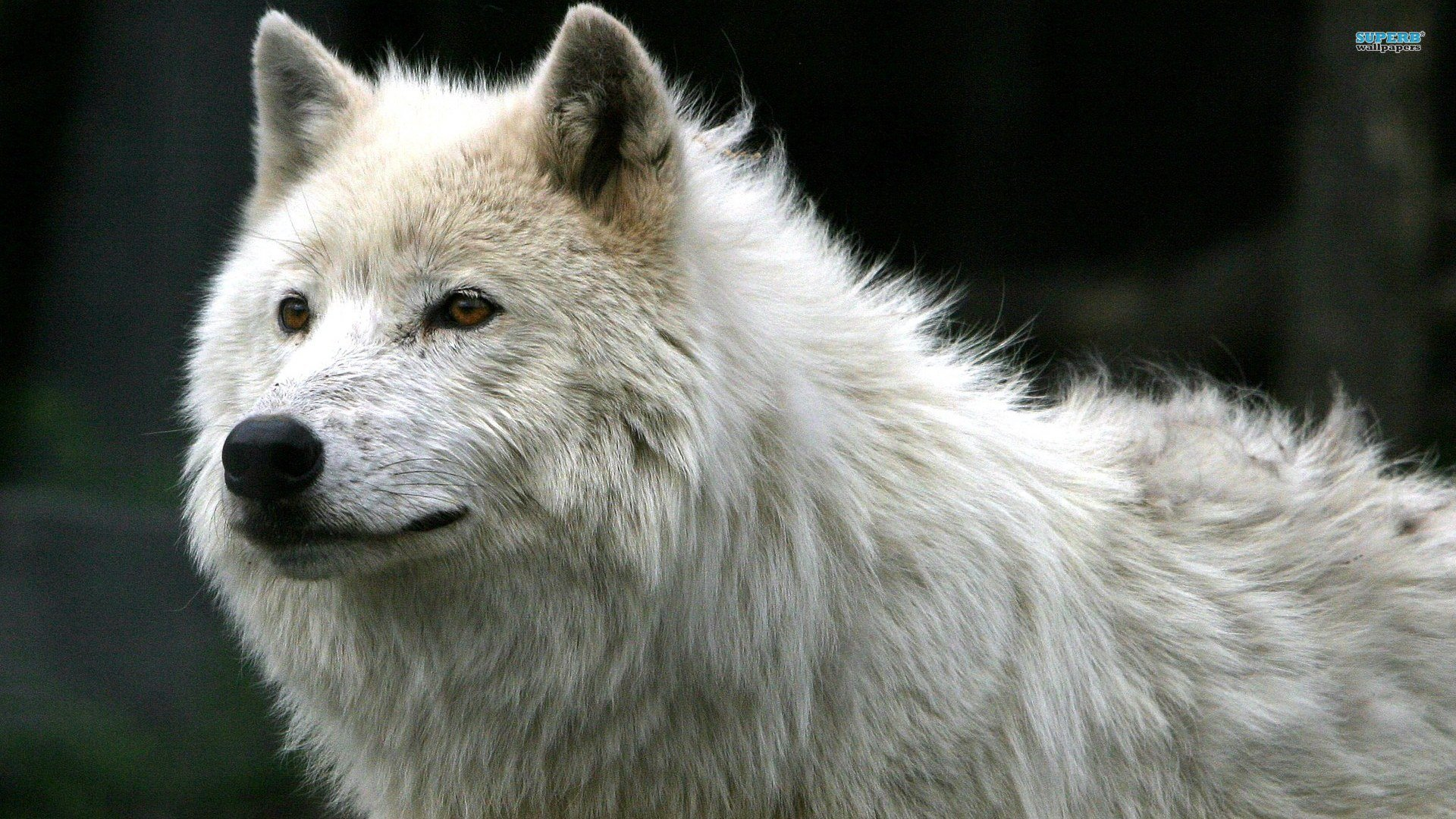 Awesome Wolf free wallpaper ID:117837 for full hd 1920x1080 computer