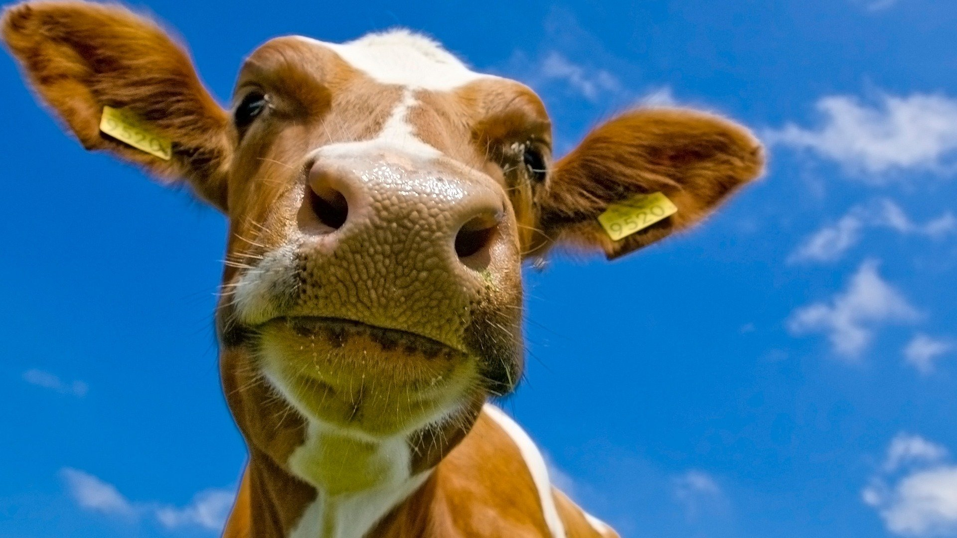 Free Cow high quality background ID:466903 for full hd 1080p desktop