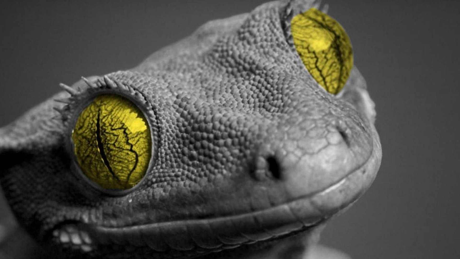 Awesome Gecko free wallpaper ID:114523 for hd 1080p computer