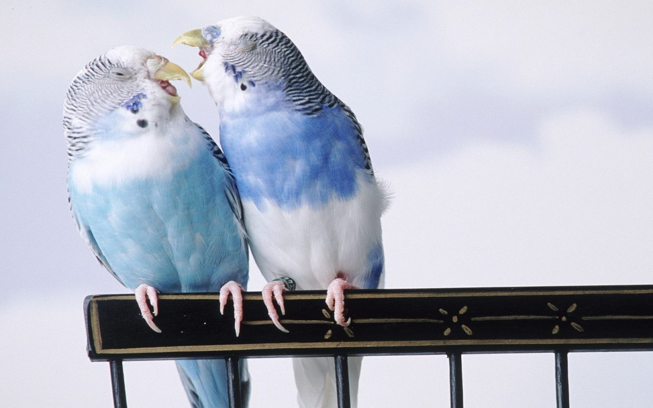 Free download Budgerigar wallpaper ID:32577 hd 1280x800 for desktop