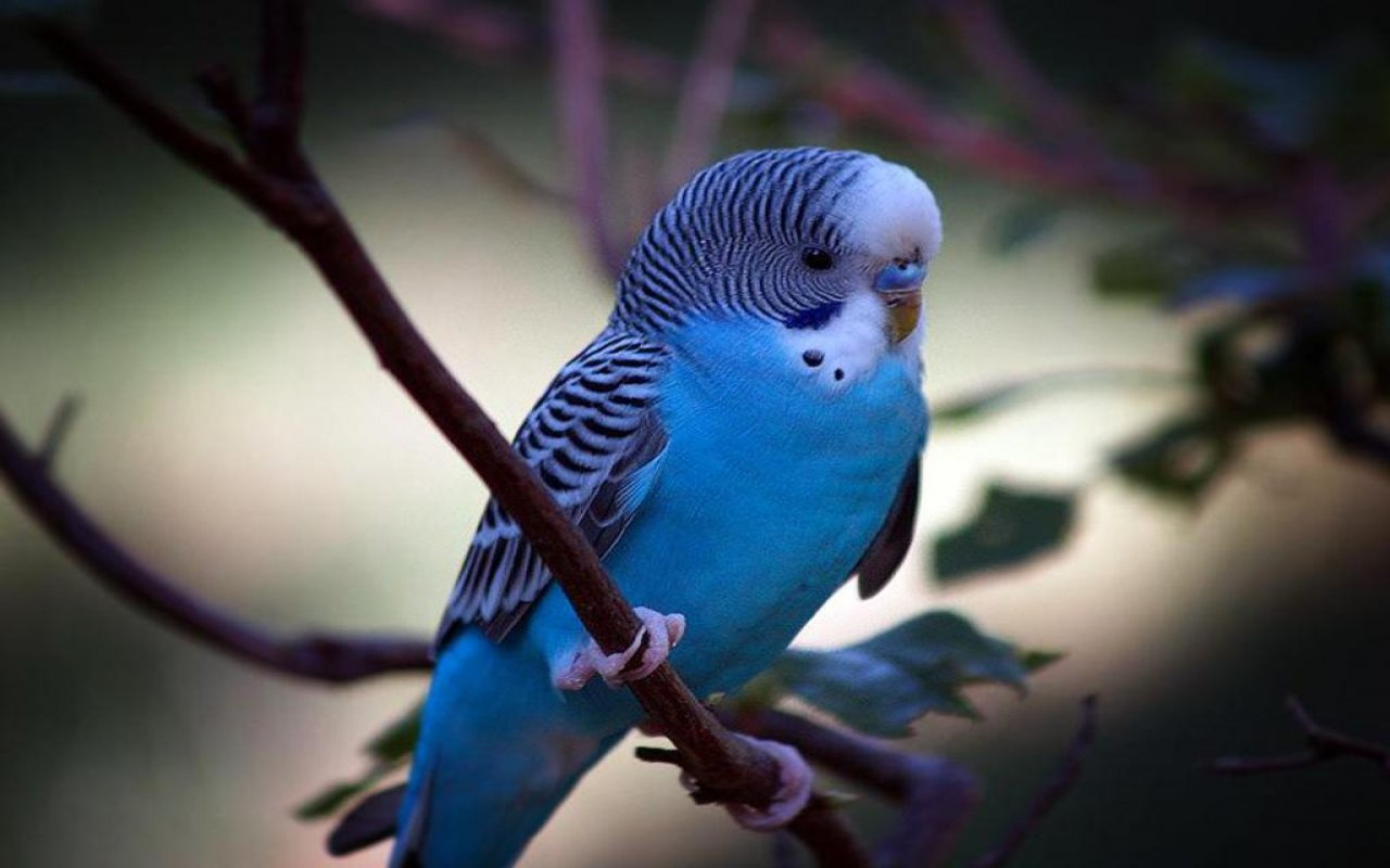 High resolution Budgerigar hd 1280x800 wallpaper ID:32584 for computer