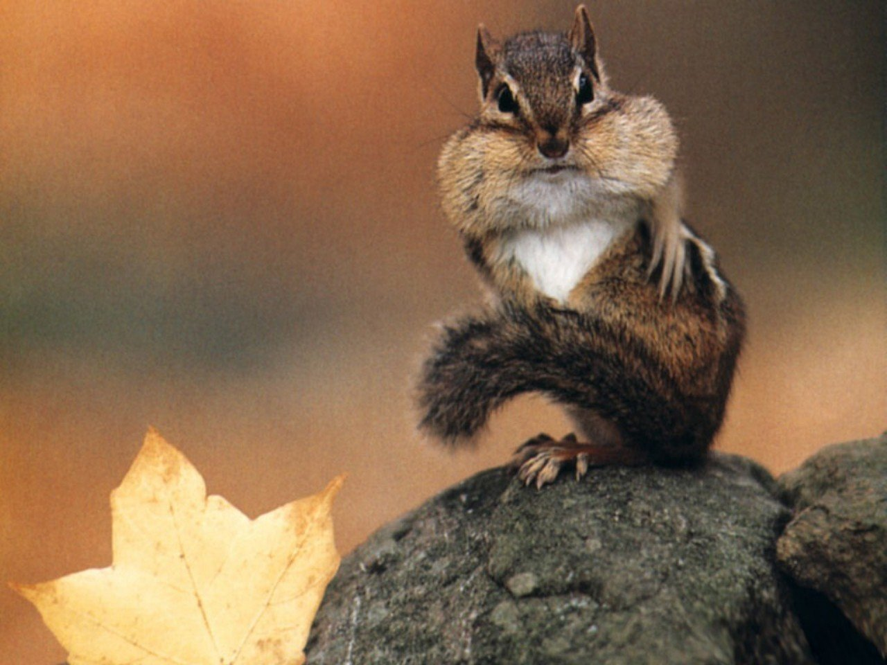 Best Squirrel background ID:311529 for High Resolution hd 1280x960 computer